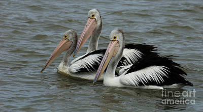 Photograph - Pelicans In Australia 3 by Bob Christopher