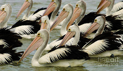 Photograph - Pelicans In Australia 1 by Bob Christopher