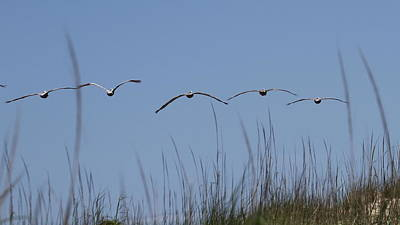 Beacon Photograph - Pelicans In Flight 14 by Cathy Lindsey