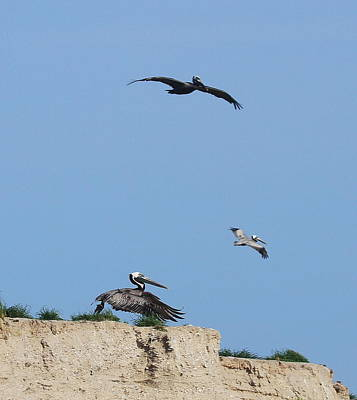 Genus Photograph - Pelicans In Flight 6 by Cathy Lindsey