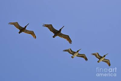Photograph - Pelicans In Flight  by Bridgette Gomes