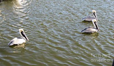 Photograph - Pelicans In Florida by Oksana Semenchenko
