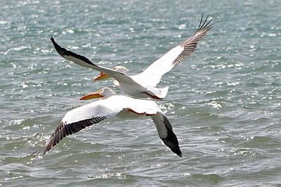 Photograph - Pelicans In Sync by Lula Adams