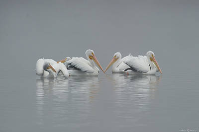 Pelicans In The Mist Art Print