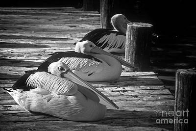 Photograph - Pelicans by Inge Riis McDonald