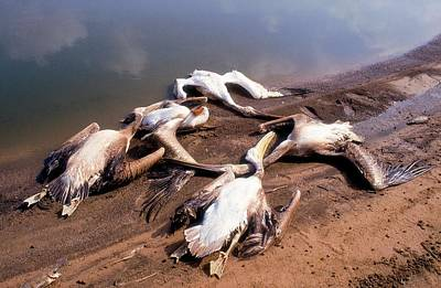 Carcass Photograph - Pelicans Killed By Angry Fish Growers. by Photostock-israel