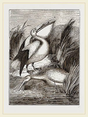 Pelican Drawing - Pelicans by Litz Collection