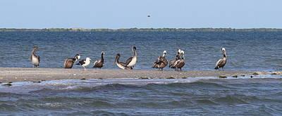 Genus Photograph - Pelicans Of Bird Island 4 by Cathy Lindsey