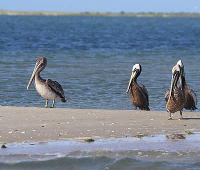 Genus Photograph - Pelicans Of Bird Island 6 by Cathy Lindsey