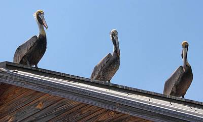 Photograph - Pelicans On A Hot Tin Roof by Bob Slitzan