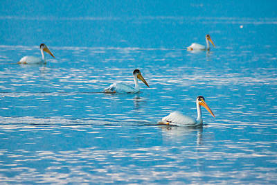Photograph - Pelicans On Blue by Bill Pevlor
