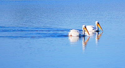 Pelicans On The Bay Art Print by AJ  Schibig