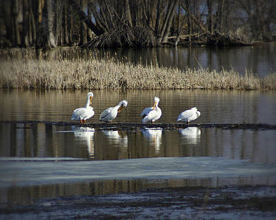 Appleton Photograph - Pelican's Return On The Fox River by Carol Toepke