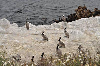Photograph - Pelicans Seals N Daisies  by Bridgette Gomes