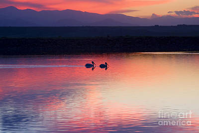 Steven Krull Royalty-Free and Rights-Managed Images - Pelicans Swimming at Sunset by Steven Krull