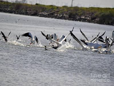 Pelicans Take Flight Art Print