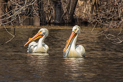 Photograph - Pelicans by Tom Gort