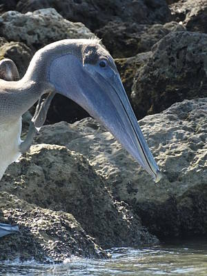Photograph - Pelikan by Frederic BONNEAU Photography