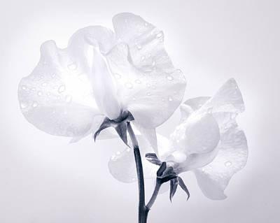 Pellucid Petals Original by Lynne  Douglas