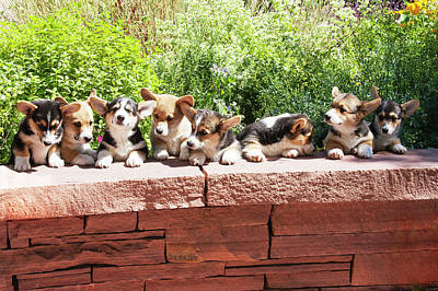 Herding Dog Photograph - Pembroke Welsh Corgi Puppies Lined by Piperanne Worcester