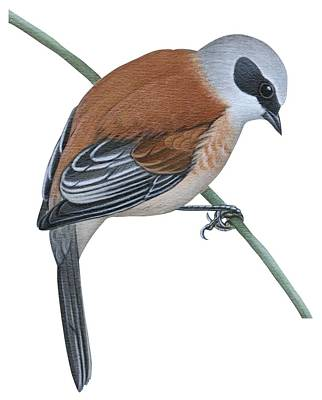 Person Drawing - Penduline Tit  by Anonymous