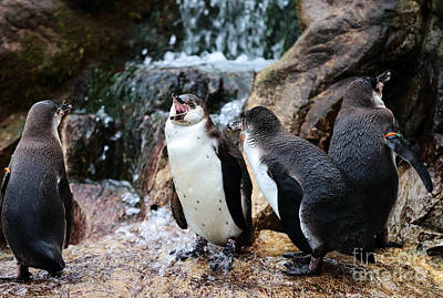 Photograph - Penguin Argument by John Rizzuto