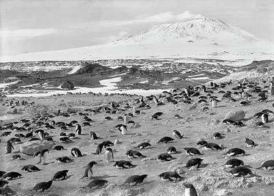 Erebus Photograph - Penguin Colony In Antarctica by Scott Polar Research Institute