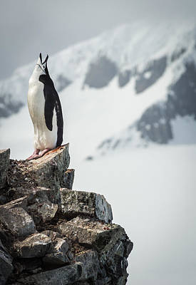 Cry Drawing - Penguin Cry - Antarctica Penguin Photograph by Duane Miller