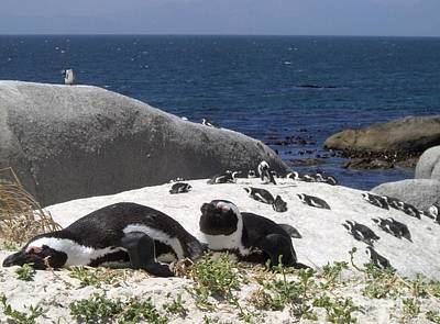 Photograph - Penguins On Boulder Beach by Barbie Corbett-Newmin