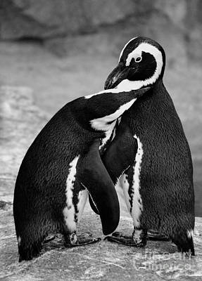 Penguin's Preening Black And White Art Print