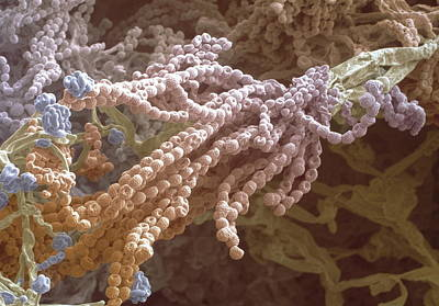 Penicillium Sp Photograph - Penicillium Spores by Power And Syred
