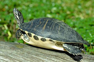 Cooter Photograph - Peninsula Cooter Pseudemys Floridana by John Serrao