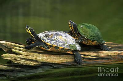 Cooter Photograph - Peninsula Cooter Turtles by David N. Davis