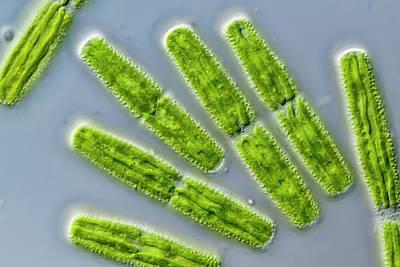 Penium Exiguum Green Alga Print by Gerd Guenther