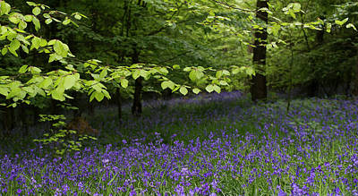 Photograph - Penn Wood Bluebells by Gary Eason