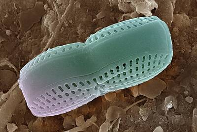 Silica Photograph - Pennate Diatom by Ami Images