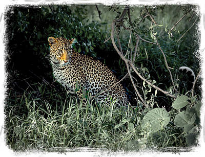 Photograph - Pensive Leopard by Randy Green