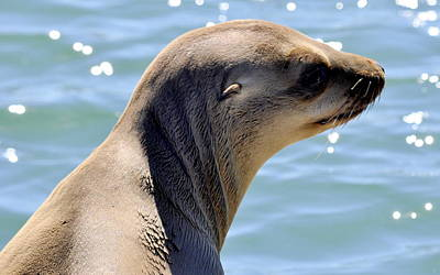Photograph - Pensive Sea Lion  by AJ  Schibig