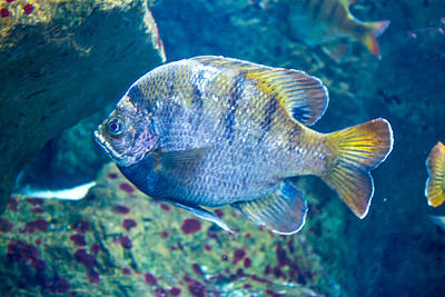 Photograph - Pensive Sheepshead by Gene Norris