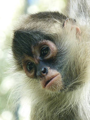 Photograph - Pensive Young Spider Monkey by Margaret Saheed