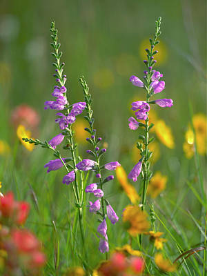 Penstemon In A Field Of Other Art Print