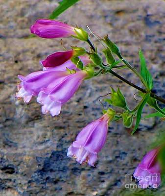 Photograph - Penstemon by Michele Penner
