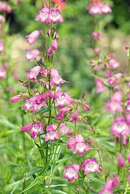 Tubular Photograph - Penstemon 'pink Endurance' Flowers by Adrian Thomas
