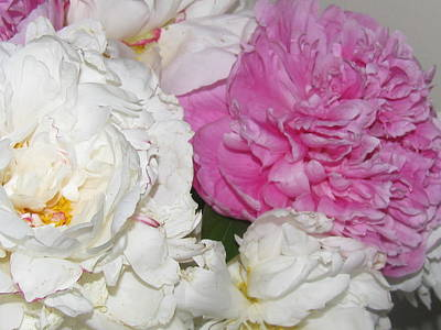 Art Print featuring the photograph Peonies 11 by Margaret Newcomb