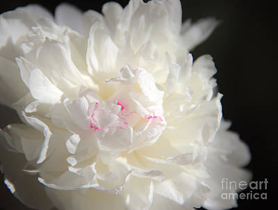 Photograph - Peonies by Jeannette Hunt