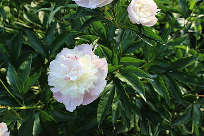 Photograph - Peonies by John Mathews