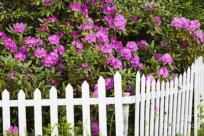 Photograph - Peonies With Fence by Alan L Graham