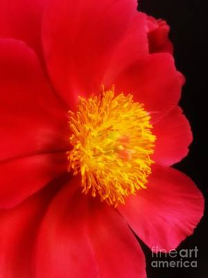 Photograph - Peony 2 by Heather L Wright