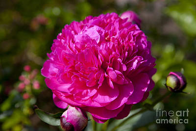 Photograph - Peony by Brian Jannsen