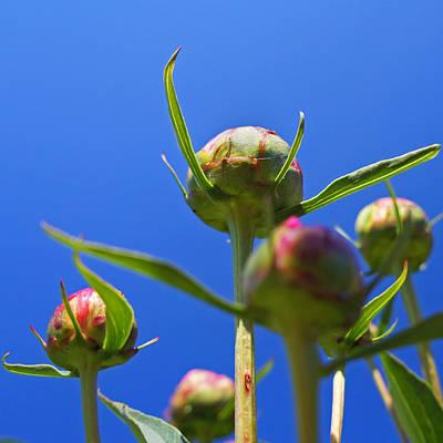 Realistic Photograph - Peony Buds by Joann Vitali
